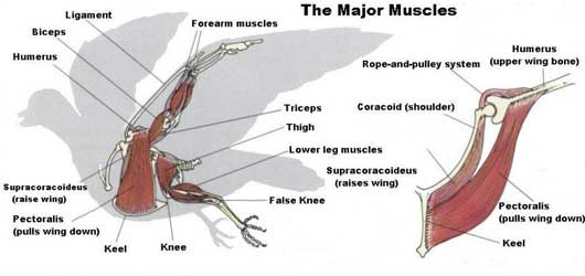 eagle - the muscular system evolution and development, Muscles